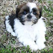 Best Shih Tzu Puppy